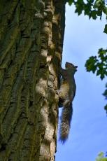 Les écureuils sont très rapides pour monter aux arbres !