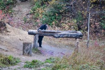 Ours noir mâle de 2 ans