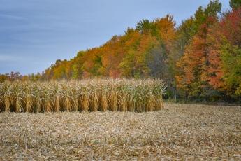 De très nombreux champs de maïs