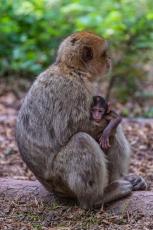 Maman singe et son petit...