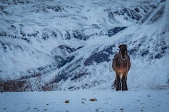 Cheval islandais dans un paysage enneigé