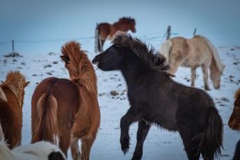 Les chevaux islandais sont très joueurs