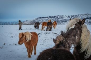 Chevaux islandais dans un magnifique paysage